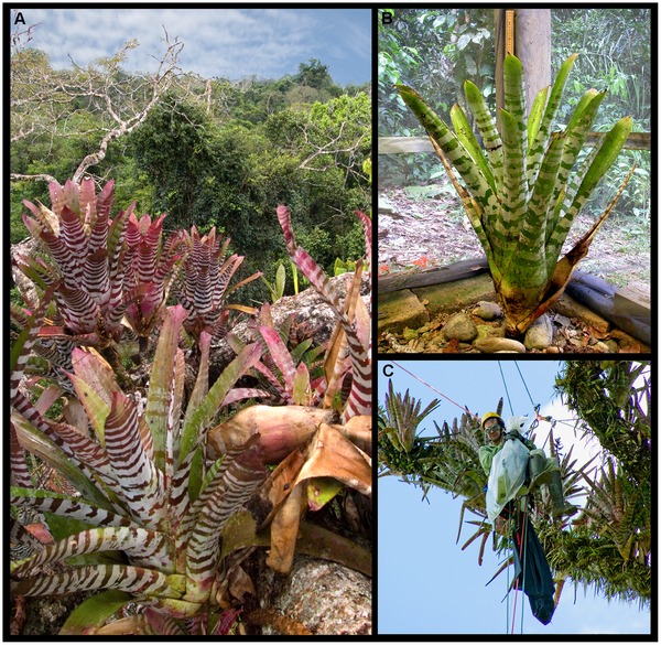 Figure 1. Aechmea zebrina tank bromeliads.